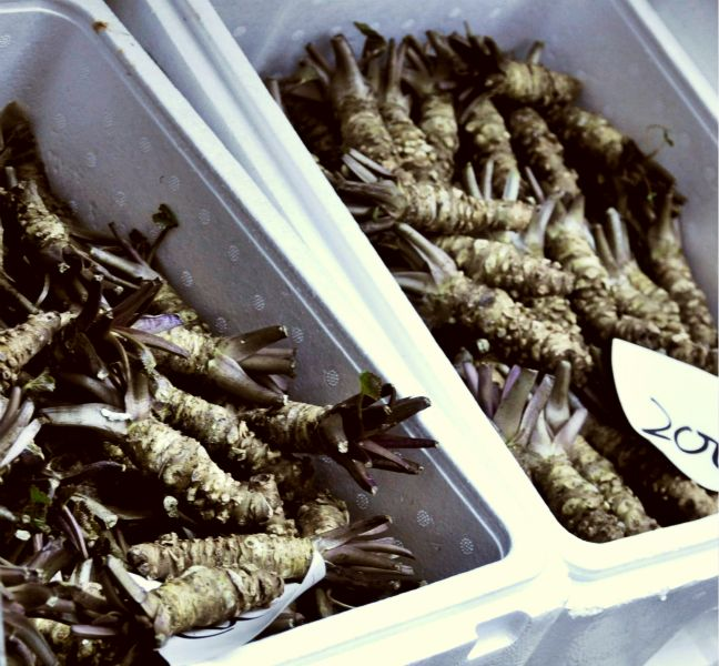 An image of fresh wasabi in crates