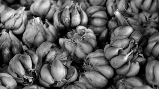 Australian Sicilian garlic